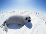 Harp Seal Pup on Ice, Magdalen Is, Canada, Atlantic Photographic Print by Jurgen Freund