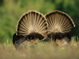 Rear View of Male Wild Turkey Tail Feathers During Display, Texas, USA Photographic Print by Rolf Nussbaumer