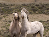 Mustang / Wild Horse, Grey Stallion and Filly, Wyoming, USA Adobe Town Hma Posters by Carol Walker