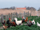 Chickens, Domestic Fowl, Rooster and Hens, Netherlands Premium Photographic Print by  Damschen