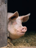 Domestic Pig Looking out of Stable, Europe Reprodukcja zdjęcia autor Reinhard