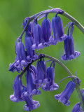 Bluebell Flower, UK Photographic Print by Niall Benvie