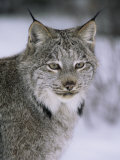Lynx Portrait, USA Photographic Print by Lynn M. Stone