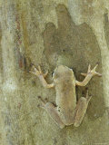 Mexican Treefrog Camouflaged on Tree Bark, Texas, USA Prints by Rolf Nussbaumer