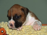 Boxer Puppy, USA Photographic Print by Lynn M. Stone
