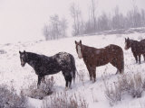 Domestic Horses, in Snow, Colorado, USA Prints by Lynn M. Stone