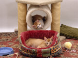 Domestic Cat, 12-Week Kittens Settled into New Home, with Bed and Leisure / Play Centre and Toys Prints by Jane Burton