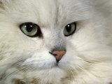 Domestic Cat, Chinchilla Persian Portrait Posters by Jane Burton