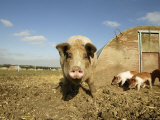 Free Range Organic Sow and Piglets, Wiltshire, UK Photographic Print by T.j. Rich