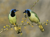 Green Jay Pair, Texas, USA Reproduction photographique par Rolf Nussbaumer
