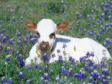 Domestic Texas Longhorn Calf, in Lupin Meadow, Texas, USA Premium Photographic Print by Lynn M. Stone