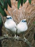 Rothschild's / Bali Mynah Birds (Leucopsar Rothschildi) Reproduction photographique par  Reinhard
