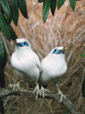 Rothschild's / Bali Mynah Birds (Leucopsar Rothschildi) Photographic Print by  Reinhard