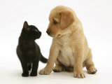 Black Domestic Kitten (Felis Catus) and Labrador Puppy (Canis Familiaris) Looking at Each Other Prints by Jane Burton