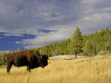 Bison (Bison Bison) Yellowstone National Park, Wyoming, USA Photographic Print by Rolf Nussbaumer