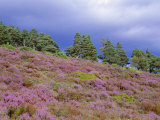 Pine Woodland and Heather, Abernethy RSPB Reserve, Cairngorms National Park, Scotland, UK Photographic Print by Pete Cairns