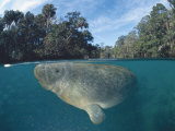 Dwest Indian Manatee, Split Level, Homosassa River, Florida, USA Print by Jurgen Freund