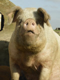 Free Range Organic Sow Portrait, Wiltshire, UK Premium Photographic Print by T.j. Rich