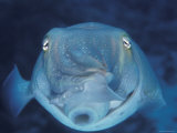 Broadclub Cuttlefish, Face-On, Great Barrier Reef, Australia Premium Photographic Print by Jurgen Freund