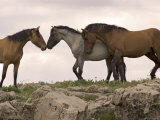Mustang / Wild Horse Red Dun Stallion Sniffing Mare&#39;s Noses, Montana, USA Pryor Print by Carol Walker