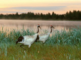 Japanese / Red-Crowned Crane Pair, Khingansky Zapovednik, Russia Photographic Print by Igor Shpilenok