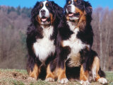 Two Bernese Mountains Dogs Print by  Reinhard