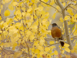 American Robin, Male in Aspen Tree, Grand Teton National Park, Wyoming, USA Stampa fotografica di Rolf Nussbaumer