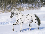 Appaloosa Horse Trotting Through Snow, USA Photographic Print by Lynn M. Stone