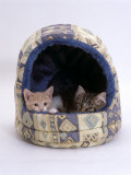 Domestic Cat, Two Kittens in Igloo Bed Poster by Jane Burton