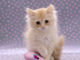 Domestic Cat, 8-Week Fluffy Cream Kitten with Sad Expression Posters by Jane Burton