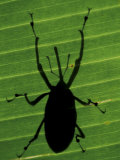 Weevil Silhouette Through Leaf, Sulawesi, Indonesia Premium Photographic Print by Solvin Zankl