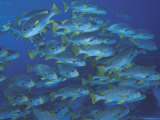 Schooling Lined Sweetlips, Great Barrier Reef, Australia Photographic Print by Jurgen Freund