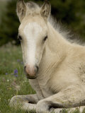 Mustang / Wild Horse Filly Portrait, Montana, USA Pryor Mountains Hma Photographic Print by Carol Walker