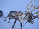 Reindeer Pulling Sledge, Stora Sjofallet National Park, Lapland, Sweden Photographic Print by Staffan Widstrand