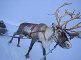 Reindeer Pulling Sledge, Stora Sjofallet National Park, Lapland, Sweden Poster by Staffan Widstrand