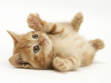 Ginger Domestic Kitten (Felis Catus) Rolling on Back Playing Prints by Jane Burton