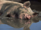 Domestic Pig Wallowing in Mud, USA Poster von Lynn M. Stone