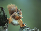 Red Squirrel Balancing on Pine Stump, Norway Fotografisk tryk af Niall Benvie