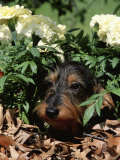 Long Haired Dachshund Among Carnations, USA Photographic Print by Lynn M. Stone