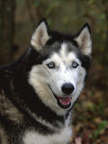 Siberian Husky Dog, USA Photo by Lynn M. Stone