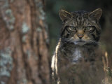 Wild Cat in Pine Forest, Cairngorms National Park, Scotland, UK Photographic Print by Pete Cairns
