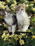 Domestic Cat, 10-Week Sisters, Tabby-Tortoiseshell-And-White Kittens Amongst Primroses Posters by Jane Burton
