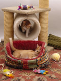 Domestic Cat, 12-Week Kittens Settled into Their New Home with Cat Basket and Play / Leisure Centre Prints by Jane Burton