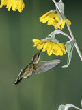 Ruby Throated Hummingbird, Female Feeds at Sunflower, Texas, USA Prints by Rolf Nussbaumer