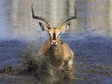 Black Faced Impala, Running Through Water, Namibia Photographic Print by Tony Heald