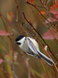 Black Capped Chickadee, Eating Flower Seeds, Grand Teton National Park, Wyoming, USA Affiches par Rolf Nussbaumer