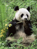 Giant Panda, Wolong Nr, Qionglai Mts, Sichuan, China Print by Lynn M. Stone