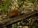 Southern Coati, Amazonia, Ecuador Prints by Pete Oxford