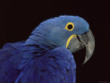 Hyacinth Macaw Photographic Print by Lynn M. Stone