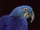 Hyacinth Macaw Posters by Lynn M. Stone